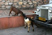Amer Fort Fighting Goats