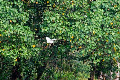Kerala Village Heron
