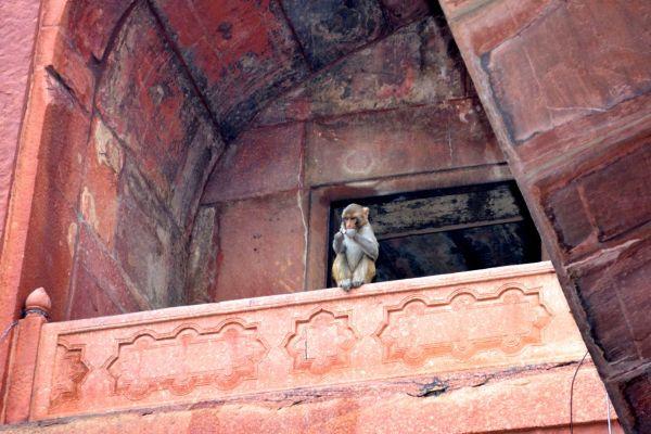 Taj Mahal Monkey