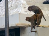Taj Mahal Monkeys