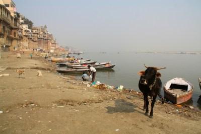 Varanasi Cow at River