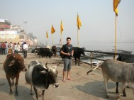 Varanasi David and Cows