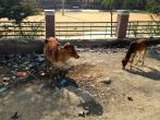 Mandatory cow pics