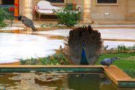 Suryagarh Peacock and Pigeon