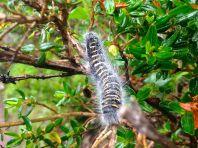 Lares Trek Caterpillar