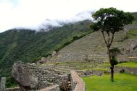 Machu Picchu Terraces and Tree