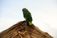 Uros Floating Islands Parrot