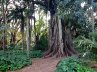 Algiers Le Jardin d'Essai du Hamma Trees