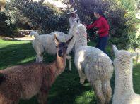 Las Casitas del Colca Alpaca Feeding
