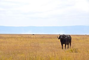 Ngorongoro Crater Lone Buffalo