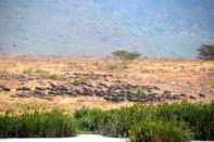 Ngorongoro Crater Ngoitokitok Spring Wildebeest