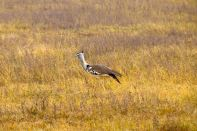 Ngorongoro Crater Secretary Bird