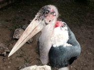 A huge Marabou Stork