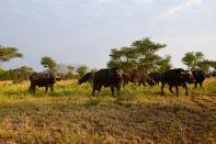 Serengeti Buffalo