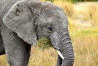 Serengeti Elephant Eating