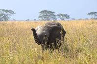 Serengeti Elephant Smelling