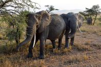 Serengeti Elephants Eating