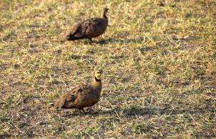 Serengeti Hen