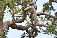 Serengeti Leopard in Tree Lounging