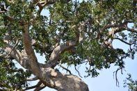 Serengeti Leopard in Tree