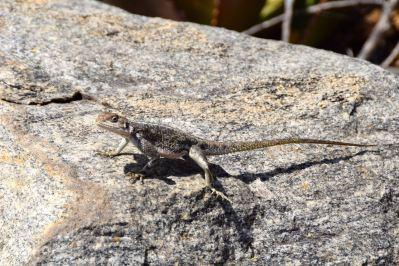 Serengeti Lizard