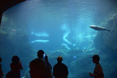 Atlanta Aquarium Beluga