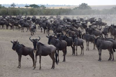 Maasai Mara Great Migration Wildebeest Stampede Pause