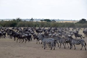Maasai Mara Great Migration Wildebeest and Zebras