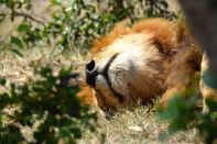 Maasai Mara Lion Sleeping