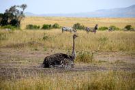 Maasai Mara Ostrich