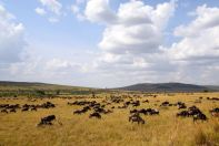 Maasai Mara Wildebeest Grazing