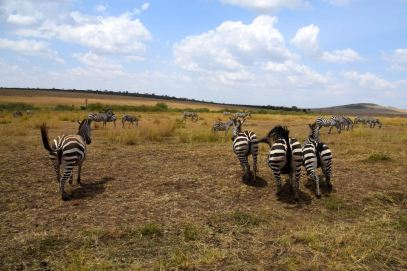 Maasai Mara Zebras Fleeing