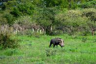 Bush Braai Warthog