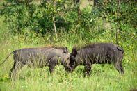 Bush Braai Warthogs fighting