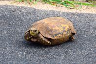 Self Drive Leopard Turtle