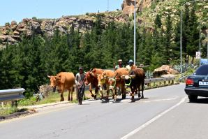 Lesotho Herders and Cows on Street