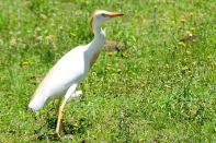 Lesotho Heron