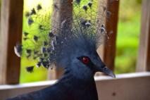 loloata-resort-pigeon