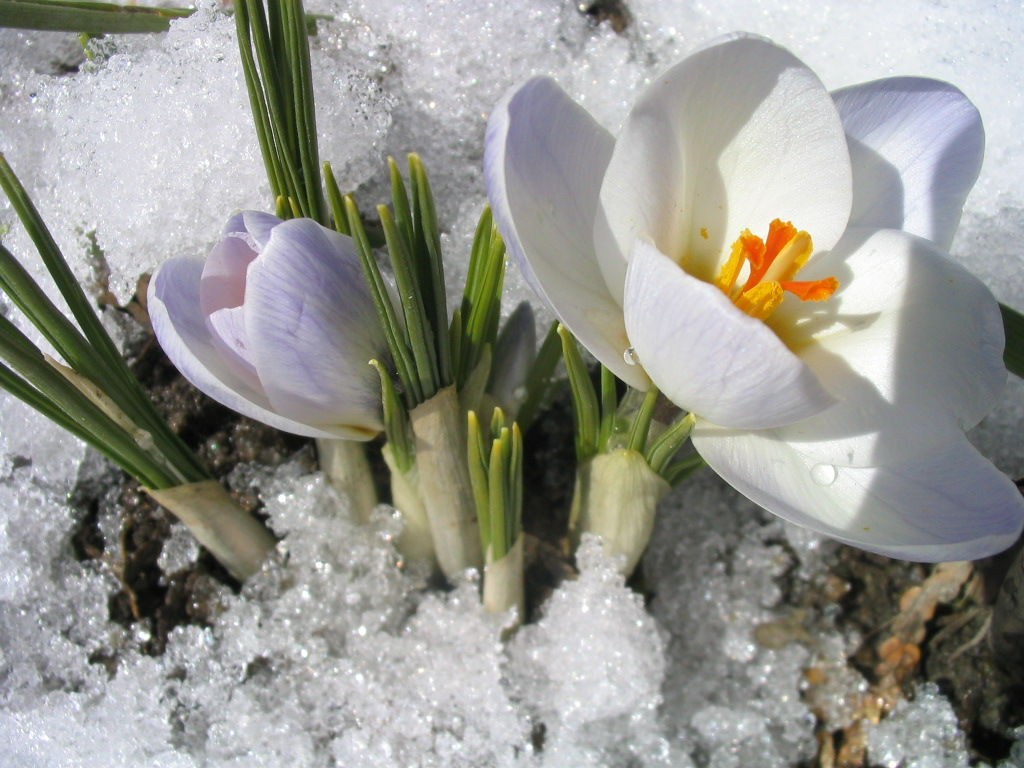 Bulbe Fleur Printemps Toutsurtout Biz Bulbes De Printemps Crocus Perce Neige