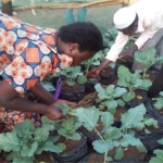 Community beneficiaries harvesting sukumwick for their families