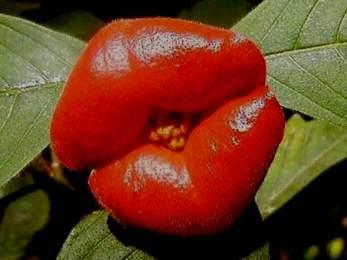 Psychotria elata - Hot Lips