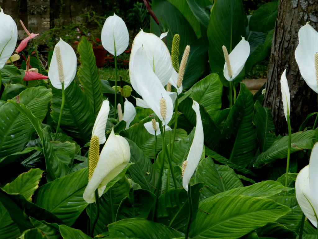 Spathiphyllum Wallisii Spathiphyllum Wallisii Peace Lily World Of Flowering Plants