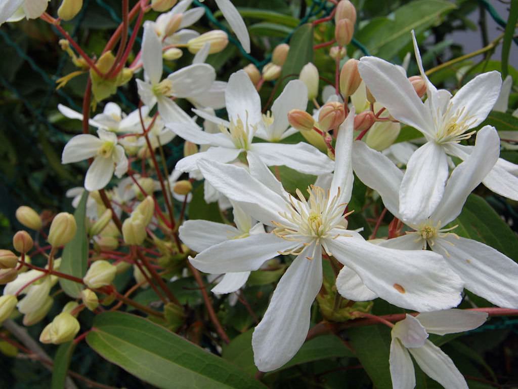 Wintergroene Clematis Clematis Armandii Evergreen Clematis World Of