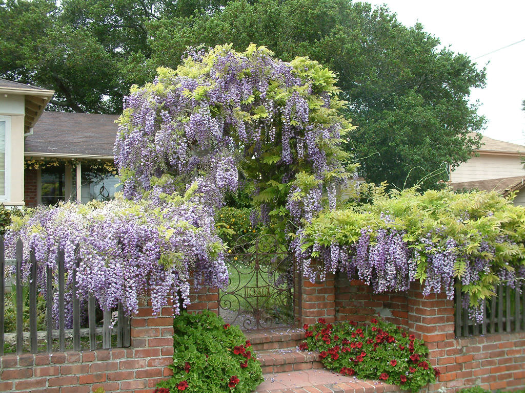 Pergola Tanaman Rambat Wisteria Sinensis (chinese Wisteria) | World Of Flowering