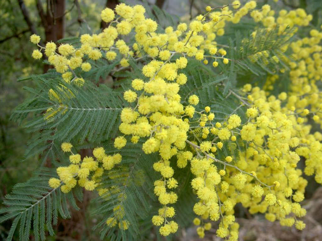 Acacia Plant Acacia Dealbata (silver Wattle) | World Of Flowering Plants