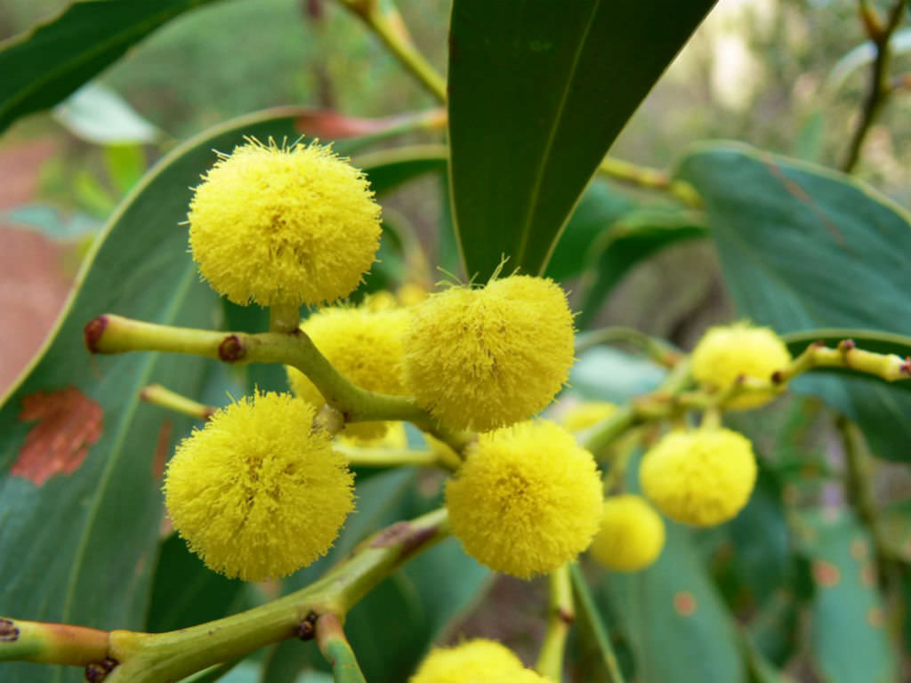 Acacia Plant Acacia Pycnantha - Golden Wattle | World Of Flowering Plants