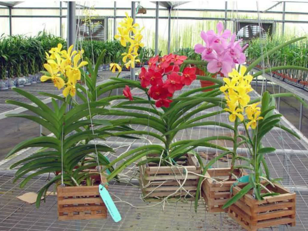 How To Grow And Care For Vanda Orchids World Of Flowering Plants
