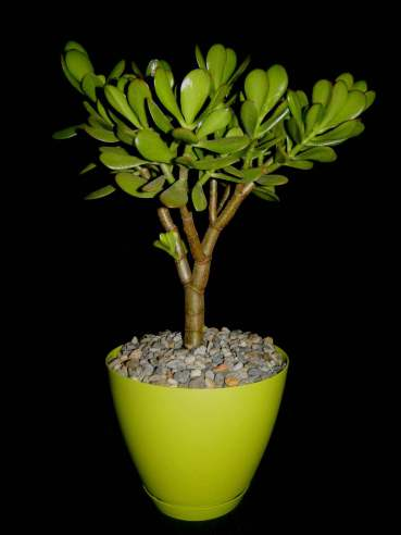 Crassula ovata - Money Tree, Jade Plant, Friendship Tree, Lucky Plant, Dollar Plant