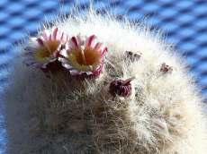 Cephalocereus senilis - Old Man Cactus White Persian Cat Cactus