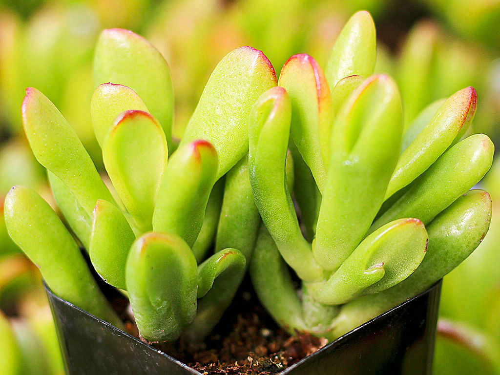 Cactus Stekken Crassula Ovata 39hobbit 39 Hobbit Jade World Of Succulents